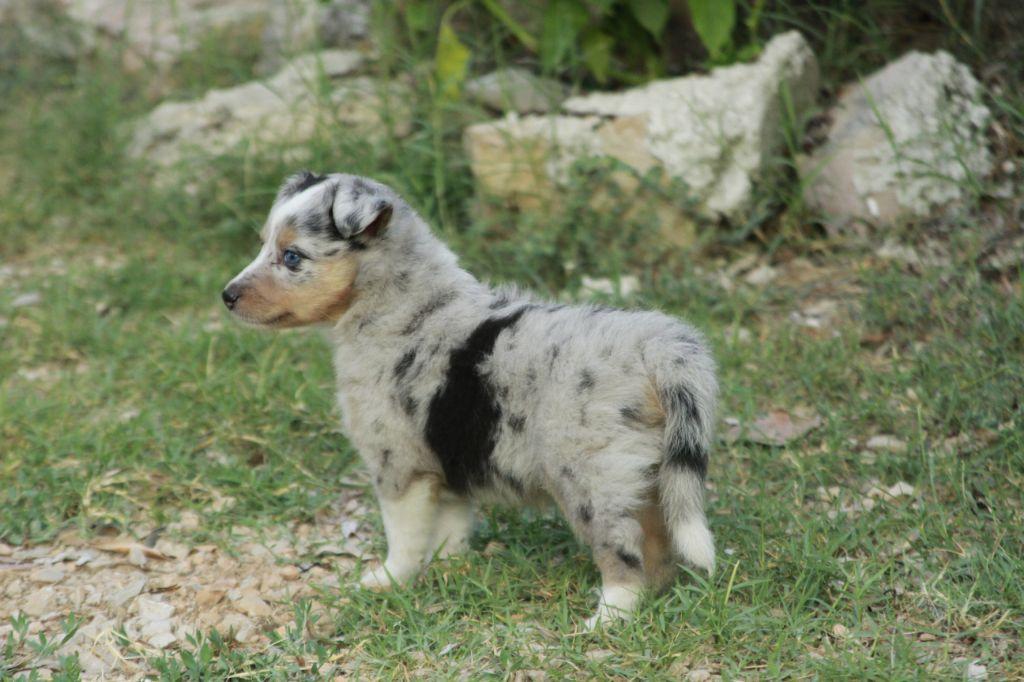De La Carrière A Bidou - Chiot disponible  - Shetland Sheepdog