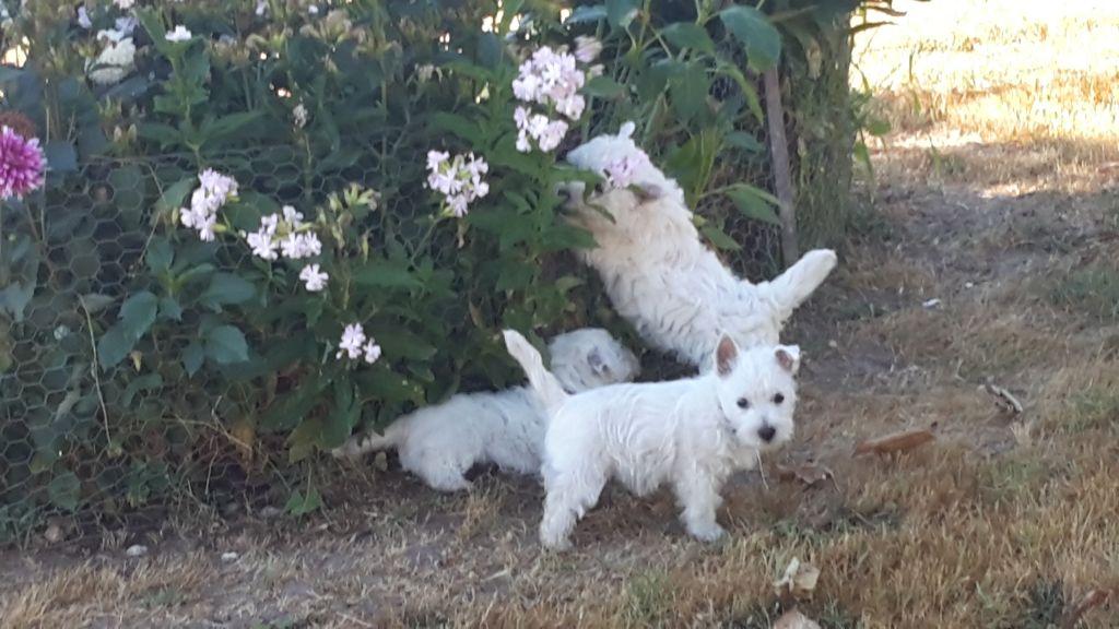 Des Petits Mouiks - Chiot disponible  - West Highland White Terrier