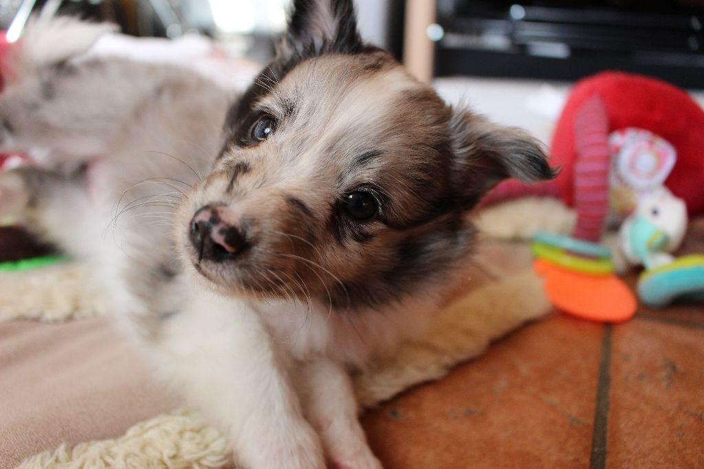 Chiot Shetland Sheepdog, Neptune, femelle disponible en