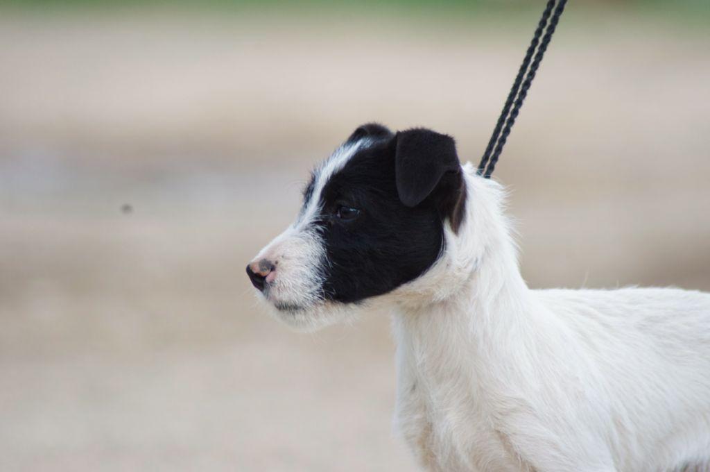 Nunca Sem Quereis - Chiot disponible  - Jack Russell Terrier