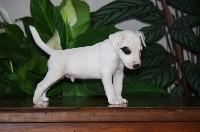 Parson Russell Terrier - Nunca Sem Quereis