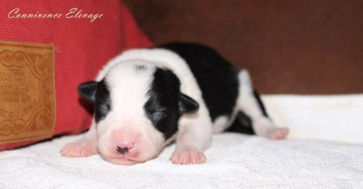 Connivence - Chiot disponible  - Border Collie