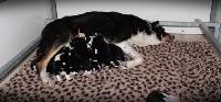 Border Collie - Chiots Border Collie LOF (lignée troupeau) - Connivence