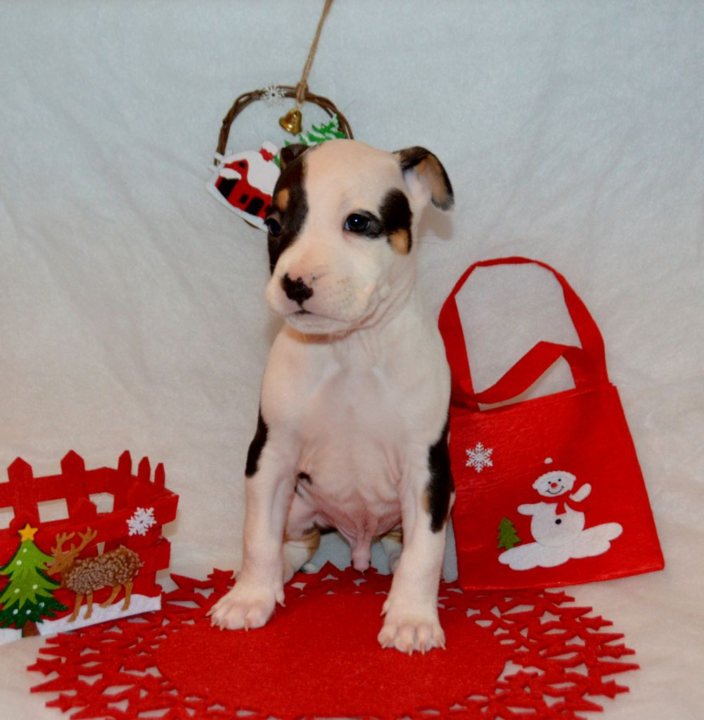 Dreams Maker's - Chiot disponible  - American Staffordshire Terrier