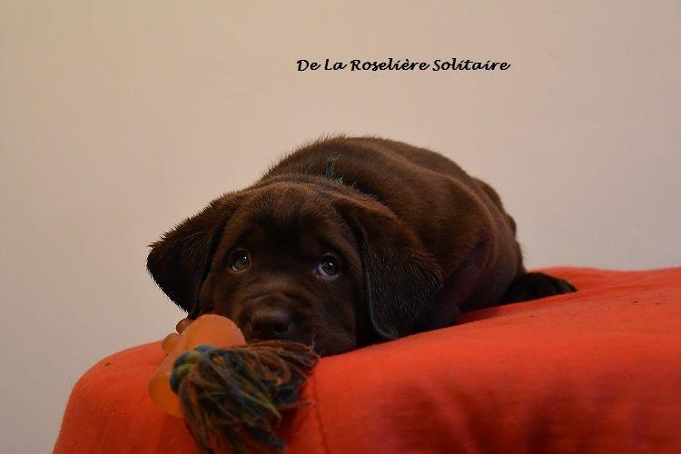de la roselière solitaire - Chiot disponible  - Labrador Retriever