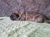 Dogo Canario - des Hydres des Mares