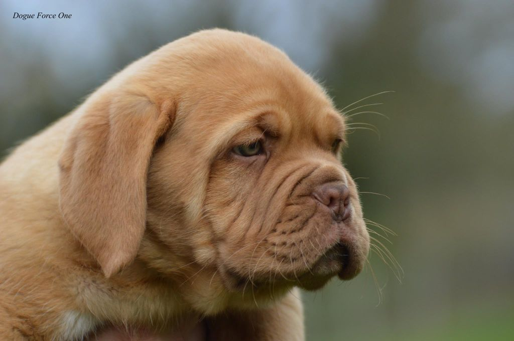 Omer - Dogue de Bordeaux