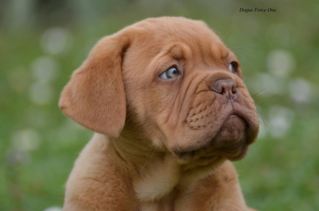 Olly - Dogue de Bordeaux