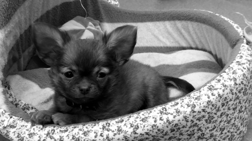 OGGY DES PTITES MUSES - Chihuahua