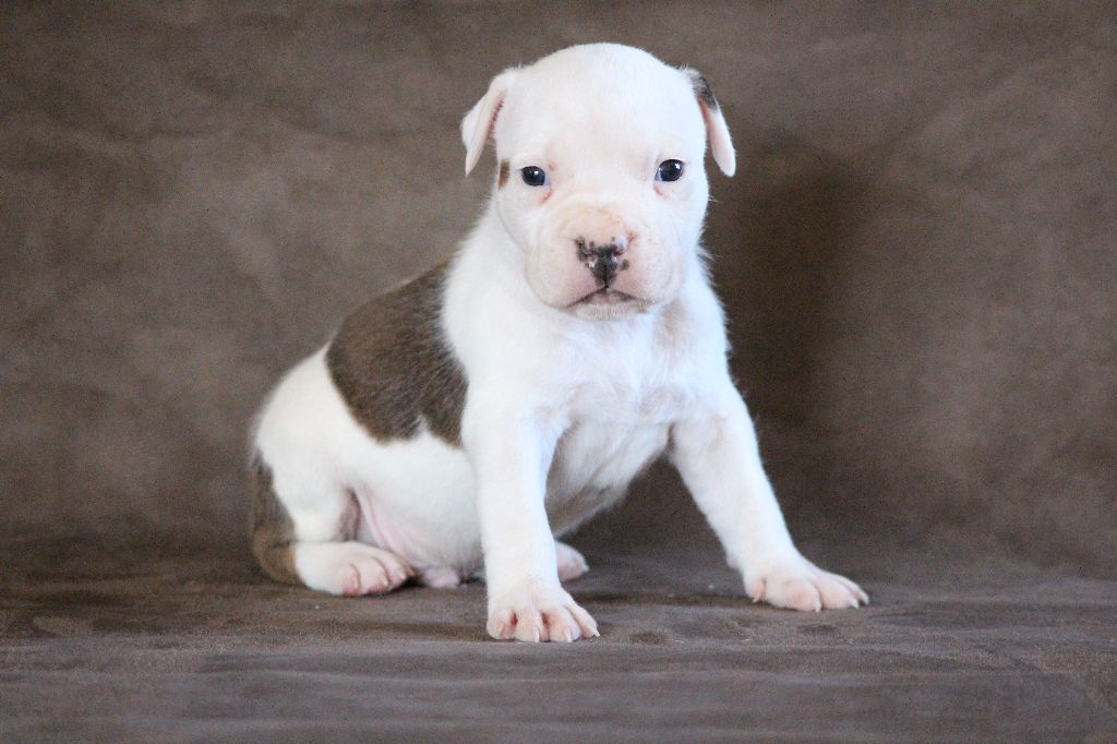 Keep Your Head Up - Chiot disponible  - American Staffordshire Terrier