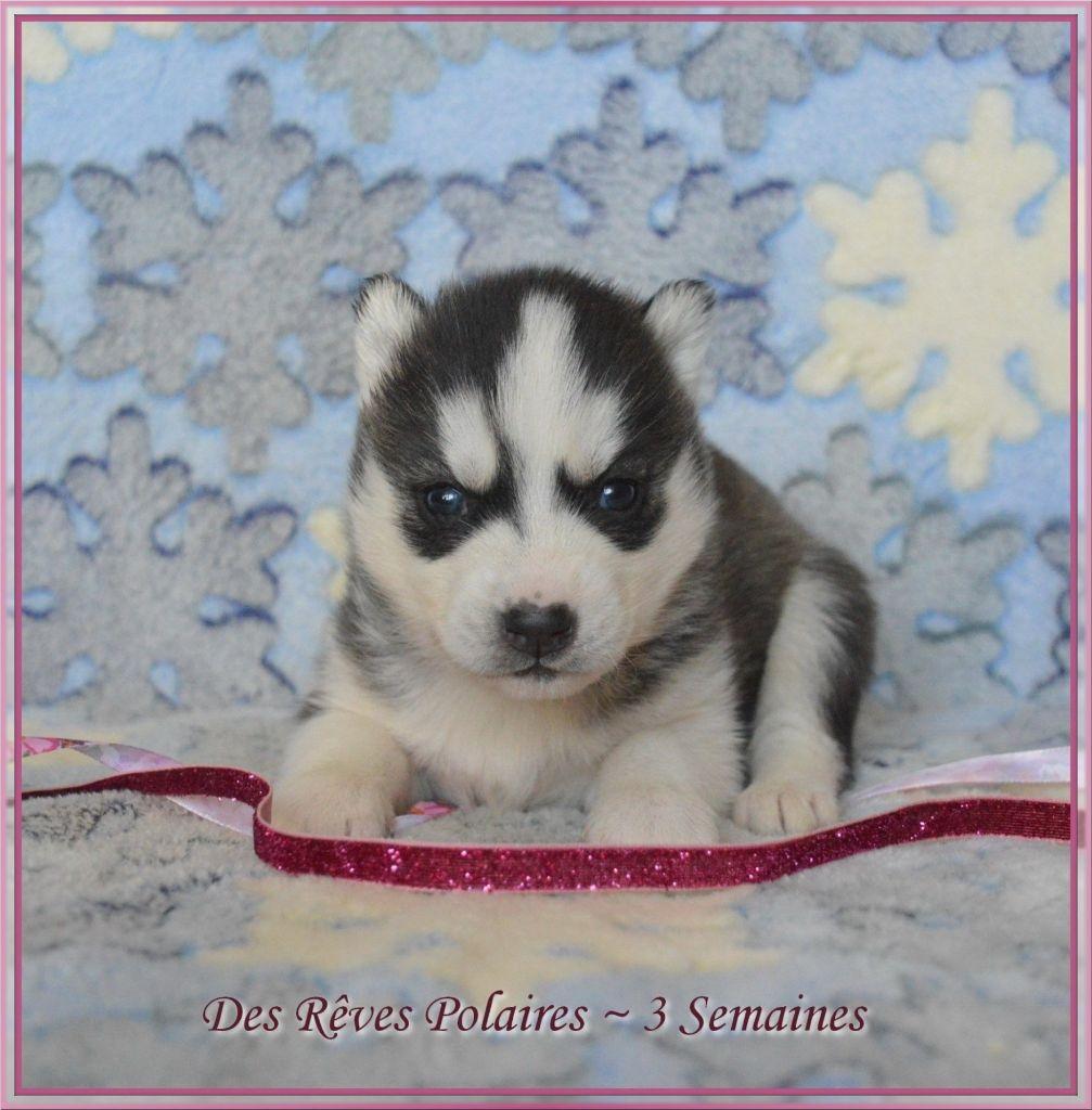 des rèves polaires - Chiot disponible  - Siberian Husky