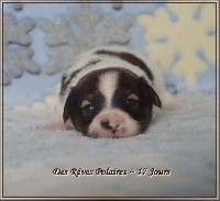 des rèves polaires - Epagneul nain Continental (Papillon) - Portée née le 13/11/2018