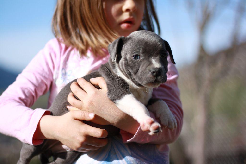 des Chasseurs D'Ombre - Chiot disponible  - Staffordshire Bull Terrier