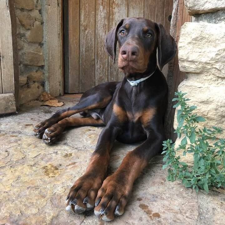 Del palazzo di shanta - Chiot disponible  - Dobermann