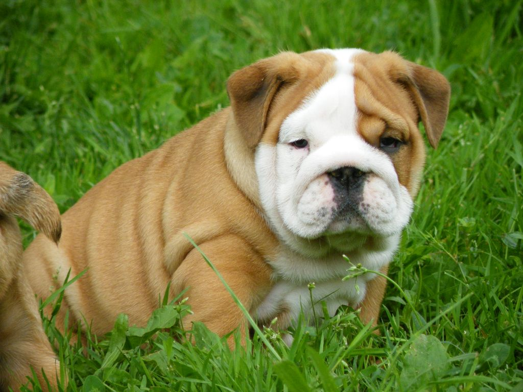 Pirate - Bulldog Anglais