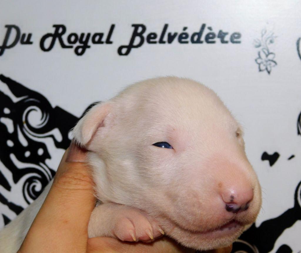 du Royal Belvédère - Chiot disponible  - Bull Terrier