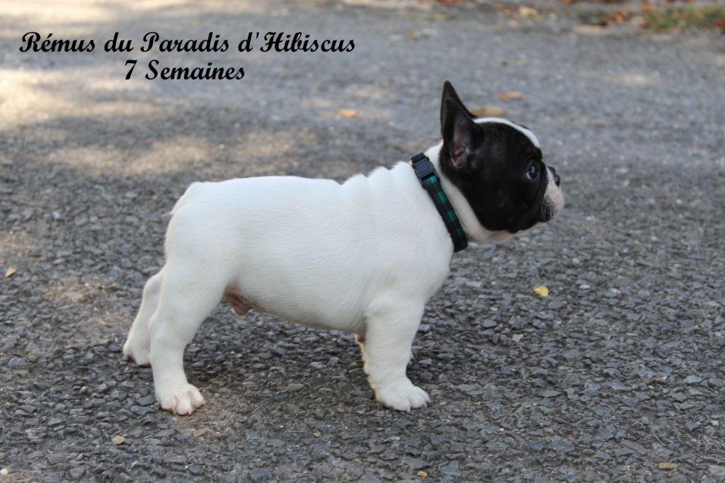 Du Paradis D'Hibiscus - Chiot disponible  - Bouledogue français
