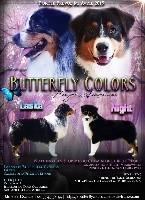 Berger Australien - LES BERGERS AUSTRALIENS DE BUTTERFLY COLORS - Butterfly Colors