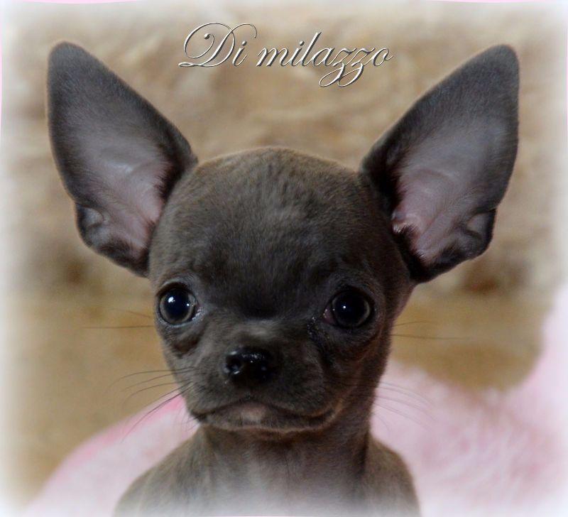 Di Milazzo - Chiot disponible  - Chihuahua
