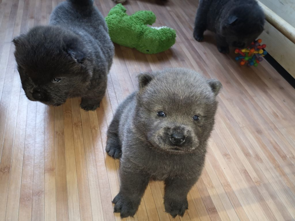 Of Lovely Blueberries - Chiot disponible  - Chow Chow