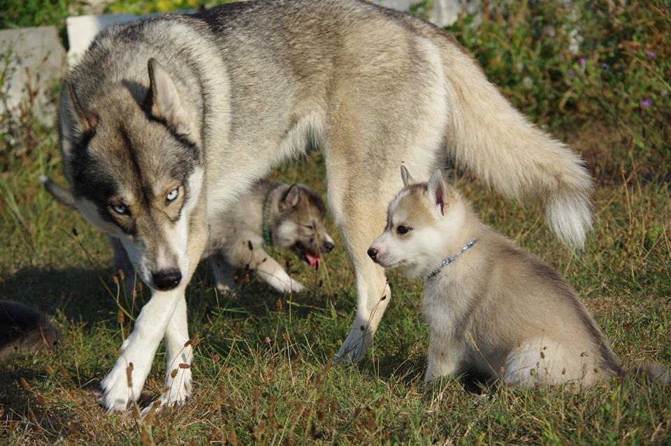 Howling Winds Of Winter - Siberian Husky - Portée née le 30/07/2018