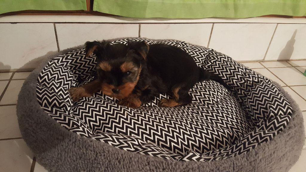 Du Pin Franc - Yorkshire Terrier - Portée née le 07/12/2017