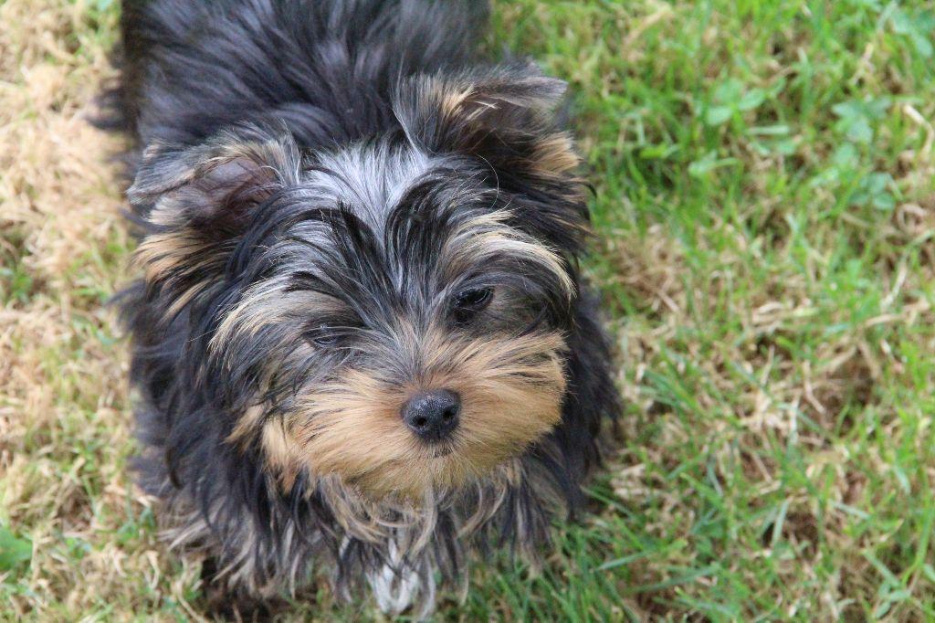 Du Pin Franc - Chiot disponible  - Yorkshire Terrier