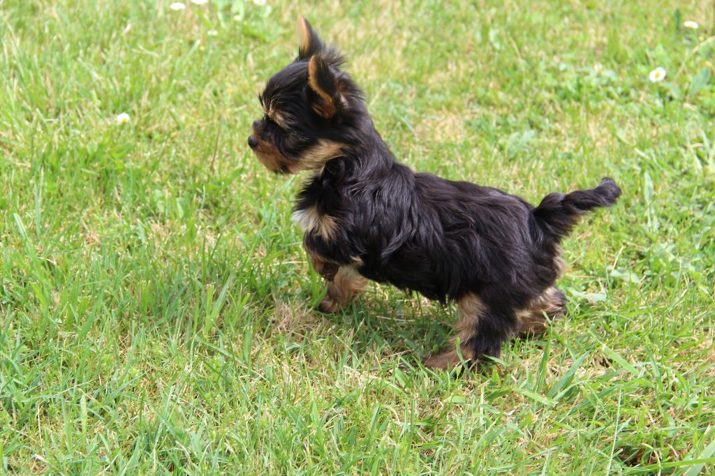 chiot Yorkshire Terrier Du Pin Franc
