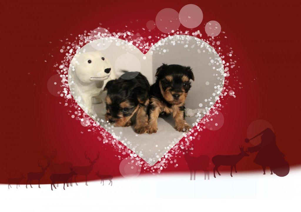 Du Pin Franc - Yorkshire Terrier - Portée née le 14/11/2017