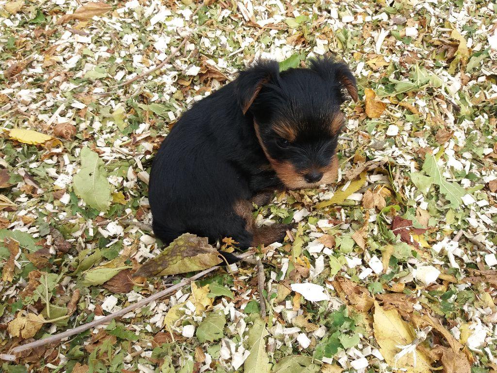 Domaine le Pin Franc - Chiot disponible  - Yorkshire Terrier