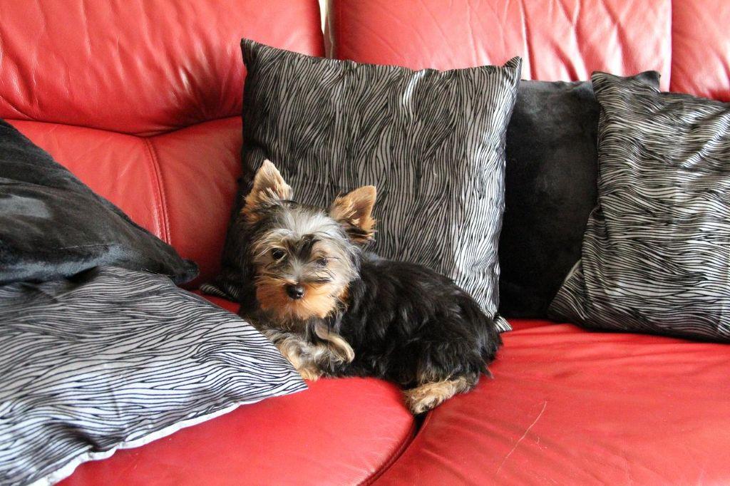 Du Pin Franc - Yorkshire Terrier - Portée née le 04/06/2017