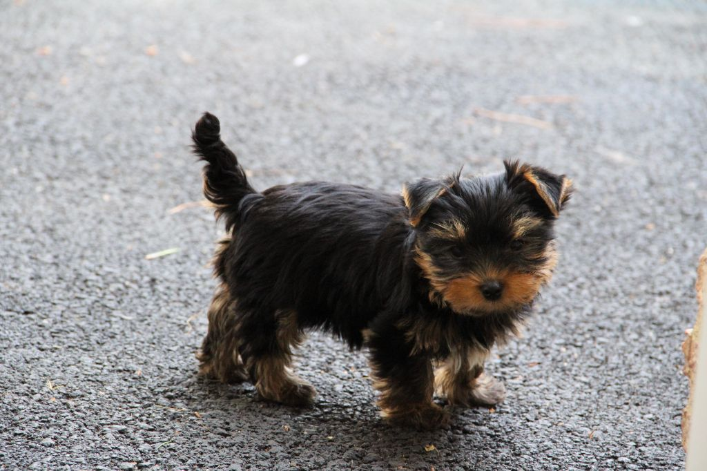 Du Pin Franc - Chiot disponible  - Yorkshire Terrier