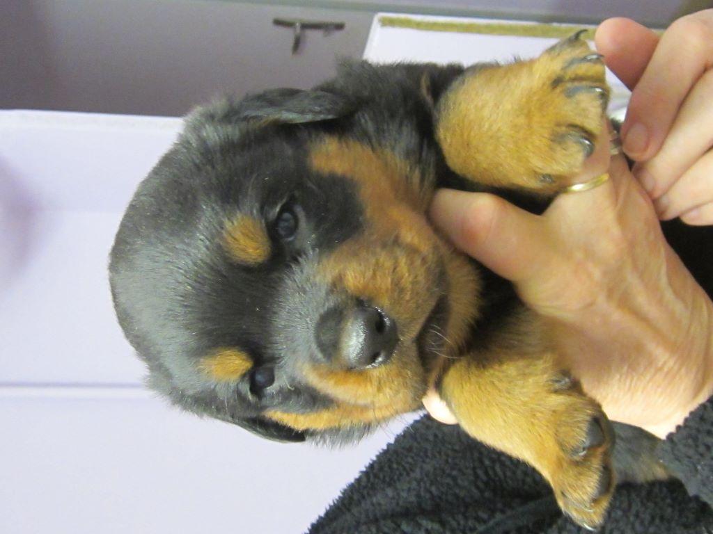 CHIOT - Rottweiler