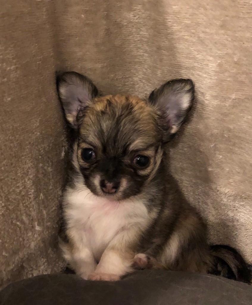 Du Reve Des Pitchounes - Chiot disponible  - Chihuahua