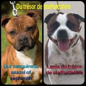 Staffordshire Bull Terrier - Portée du trésor de staffordshire  - Du Trésor De Staffordshire