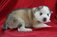 Siberian Husky - Des Fleurs D'Etoiles