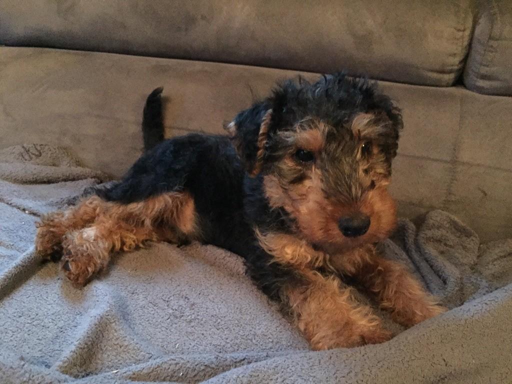 Des Petites Fagnes - Chiot disponible  - Welsh Terrier