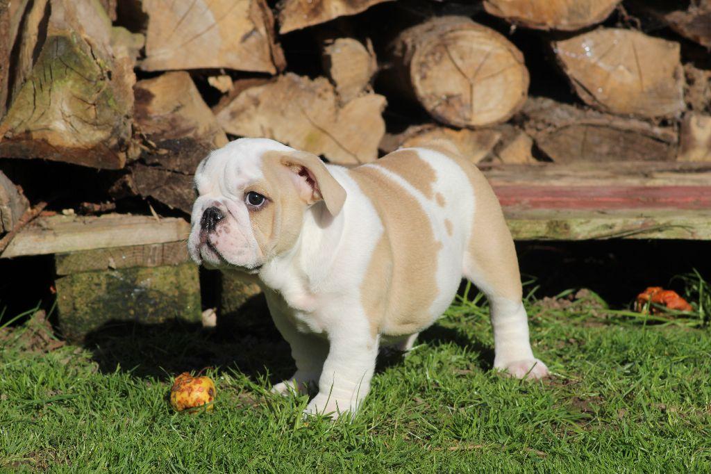 des Bulls Fourious - Chiot disponible  - Bulldog Anglais