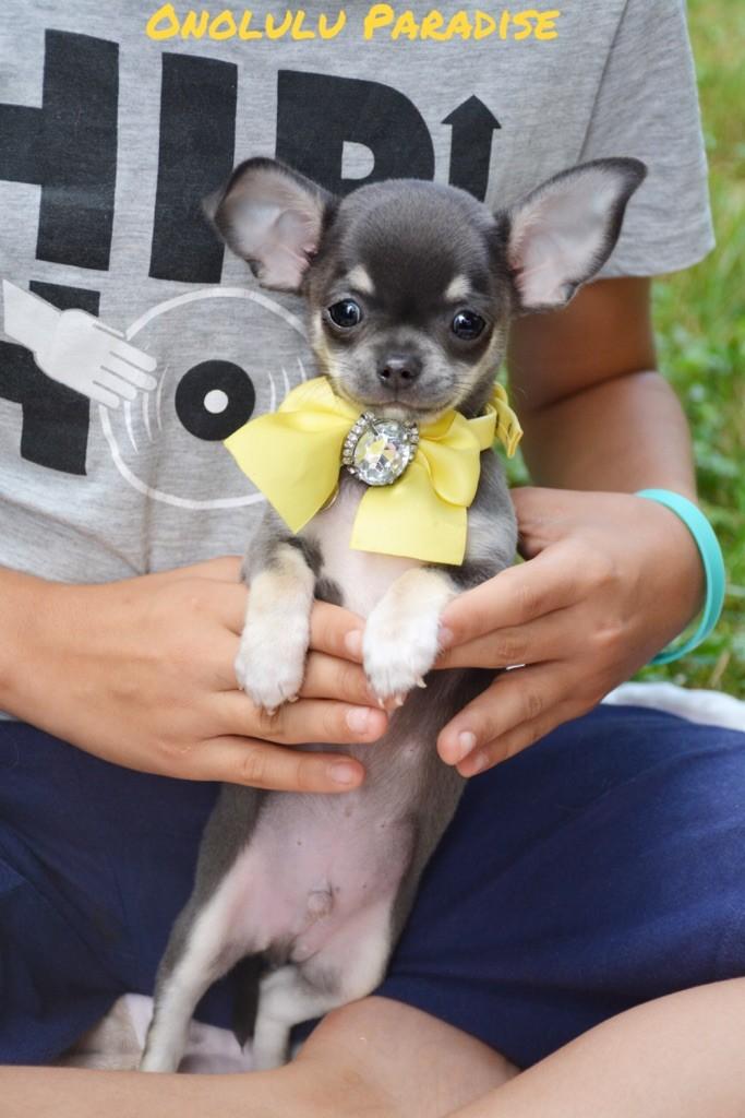 chiot Chihuahua de l'Eden des Petits Monarques