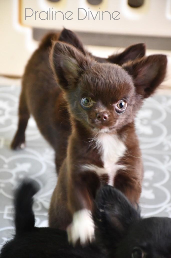 de l'Eden des Petits Monarques - Chihuahua - Portée née le 24/02/2019