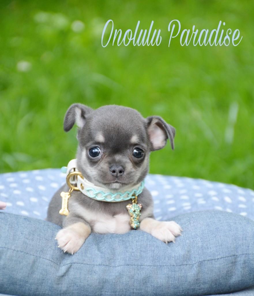 de l'Eden des Petits Monarques - Chiot disponible  - Chihuahua
