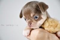 de l'Eden des Petits Monarques - Chihuahua - Portée née le 21/01/2021