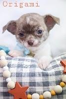 de l'Eden des Petits Monarques - Chihuahua - Portée née le 17/10/2018