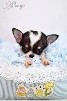 Pongo  (Miniature)