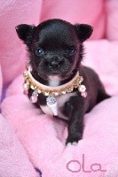 de l'Eden des Petits Monarques - Chihuahua - Portée née le 06/07/2018
