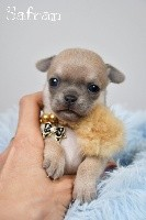 de l'Eden des Petits Monarques - Chihuahua - Portée née le 09/04/2021