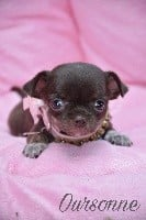 de l'Eden des Petits Monarques - Chihuahua - Portée née le 25/06/2018