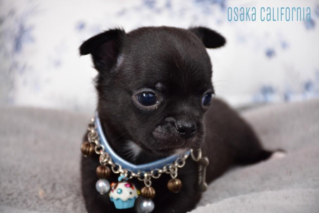 de l'Eden des Petits Monarques - Chihuahua - Portée née le 07/03/2018