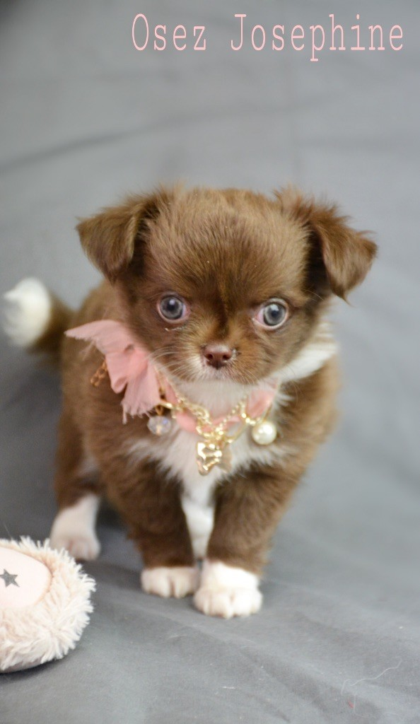 de l'Eden des Petits Monarques - Chihuahua - Portée née le 17/03/2018