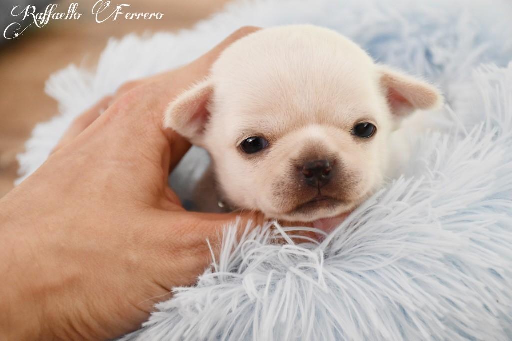 de l'Eden des Petits Monarques - Chihuahua - Portée née le 14/04/2020